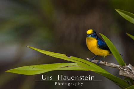 Thick billed euphonia Panama Stock Photo