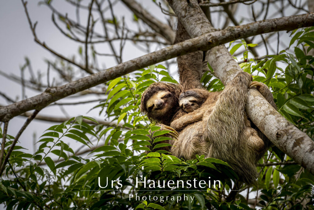 3 toed sloth with baby Stock Photo
