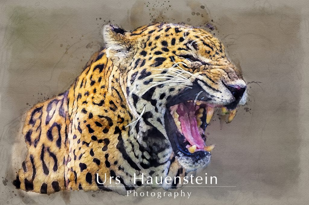 Jaguar showing teeth watercolor illustration