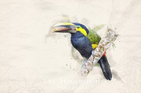 Yellow eared Toucanet Watercolor Illustration