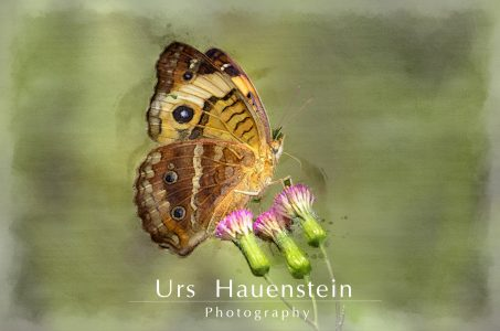 Common Buckeye Butterfly watercolor illustration